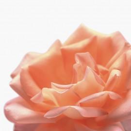 Rose Dew - toitev, kaitsev, silendav